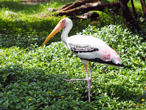 Long mouth white bird Royalty Free Stock Images