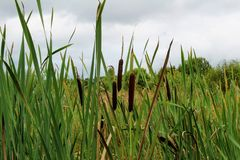 Long narrow leaves of reeds grow in the swamp Stock Image