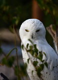 Long neck. A photo of a snow owl royalty free stock image