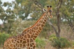 Long neck. Giraffe in Kruger National Park Stock Photo