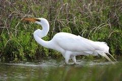 Long Neck Egret. Wading in the water on Seabrook bay Stock Photo