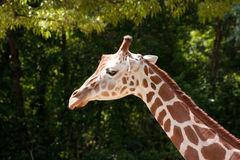 Long Neck Of A Giraffe Royalty Free Stock Photo
