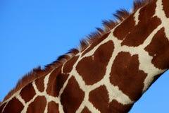 Long neck giraffe Royalty Free Stock Photos