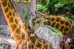 Long neck giraffe. Royalty Free Stock Photo
