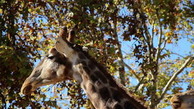 Long neck giraffe head of two giraffes. Long neck giraffes are very common in Africa. This herbivore can eat high foods that other animals cannot stock footage