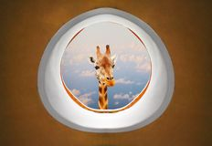 Long neck Giraffe looking trough airliner window. Royalty Free Stock Photos