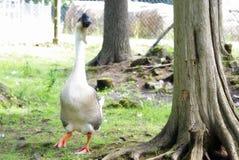 Long Neck Goose Royalty Free Stock Photo