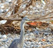 The long neck of the heron stock photography