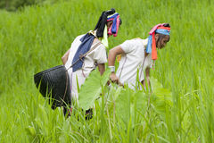 Long Neck Karen working on paddy-field. Near Mae Hong Son in Thailand Stock Photo