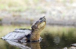 Long neck Snapping Turtle in swamp, Georgia USA. Large six inch carapace plastron Common Snapping Turtle, Chelydra serpentina, in muddy swamp water puddle. May Royalty Free Stock Photo