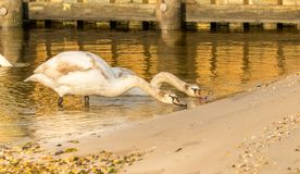 Long neck Swans royalty free stock photo