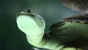 Long neck turtle swimming in an aquarium. Long-neck turtle swimming in an aquarium stock footage