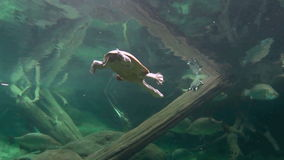 Long Neck Turtle Swimming 1. Fresh water long necked turtle swimming with other fish stock footage