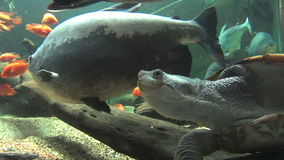 Long Neck Turtle Swimming 4. Fresh water long necked turtle swimming with other fish stock video footage