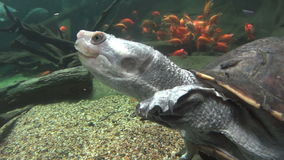 Long Neck Turtle Swimming 5. Fresh water long necked turtle swimming with other fish stock video footage