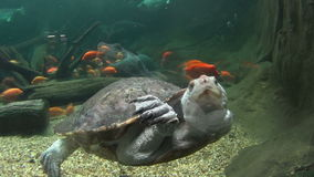 Long Neck Turtle Swimming 2. Fresh water long necked turtle swimming seen from below with other fish stock footage