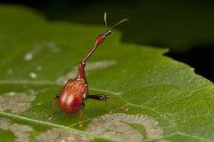 Long neck Weevil Stock Photos