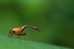 Long-necked beetle/weevil macro. Macro/close-up shot of a long-necked weevil/beetle on a green leaf Royalty Free Stock Image