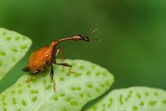 Long-necked beetle/weevil macro Royalty Free Stock Photography