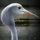 Long Necked Bird Royalty Free Stock Photo