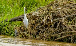 A long necked Egret on a river shore. Looks at the passing traffic Stock Photos