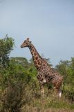 The long necked giraffe Royalty Free Stock Images