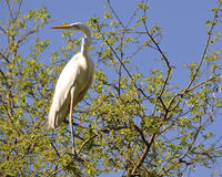 Long necked heron. Standing on the top of the tree Stock Photography