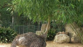 Ostrich in the zoo. The long necked ostrich eating tree leaves. The long necked ostrich eating tree leaves stock footage