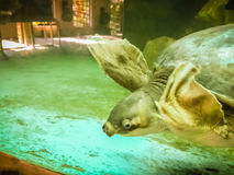 Long-necked turtle (snake-necked turtle) is swimming in the glas Royalty Free Stock Images