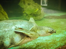 Long-necked turtle (snake-necked turtle) is swimming in the glas Royalty Free Stock Photography