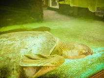 Long-necked turtle (snake-necked turtle) is swimming in the glas Stock Photography