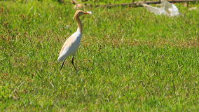 Long-necked White Bird Walks on Green Grass in Park. Long-necked white bird walks on green grass in tropical park stock video footage