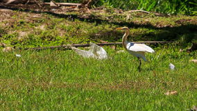 Long-necked White Bird Walks on Green Grass in Park. Long-necked white bird walks on green grass in tropical park stock video