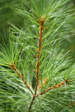 Long Needle Pine Branch Stock Images