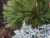 Long needled coastal conifer Royalty Free Stock Images