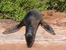 After a long night out...!. Seal sleeping on a log with flippers spread out. Galapagos Islands royalty free stock photography