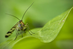 Long nose insect on green leaf Stock Image