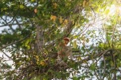 Long nose monkey sitting on tree branch, Labuk Bay, Borneo. Long nose monkey near river in kinabalu city Royalty Free Stock Photo