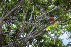 Long nose monkey sitting on tree branch, Labuk Bay, Borneo. Long nose monkey near river in kinabalu city Royalty Free Stock Photos