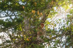 Long nose monkey sitting on tree branch, Labuk Bay, Borneo. Long nose monkey near river in kinabalu city Stock Images