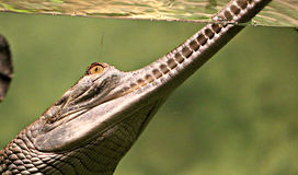 Long nosed Alligator at Cleveland Zoo. Long nosed alligator takes a bit of air while swimming in a Cleveland Rain Forest Zoo pool Royalty Free Stock Photo