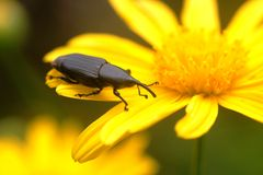 Long Nosed Coleoptera Stock Photography