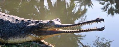 Long-nosed crocodile. Royalty Free Stock Photo