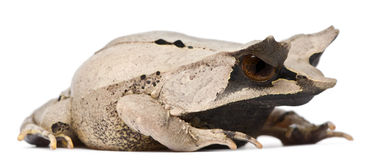 Long-nosed Horned Frog, Megophrys nasuta Royalty Free Stock Images