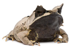 Long-nosed Horned Frog, Megophrys nasuta Stock Photo