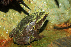 Long-nosed horned frog Royalty Free Stock Photography
