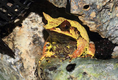Long-nosed horned frog Stock Photography