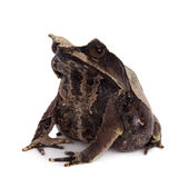 The long-nosed horned frog on white