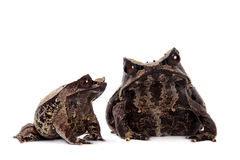 The long-nosed horned frog on white Stock Images