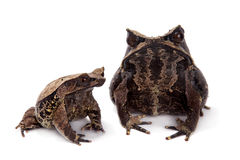 The long-nosed horned frog on white Stock Photos